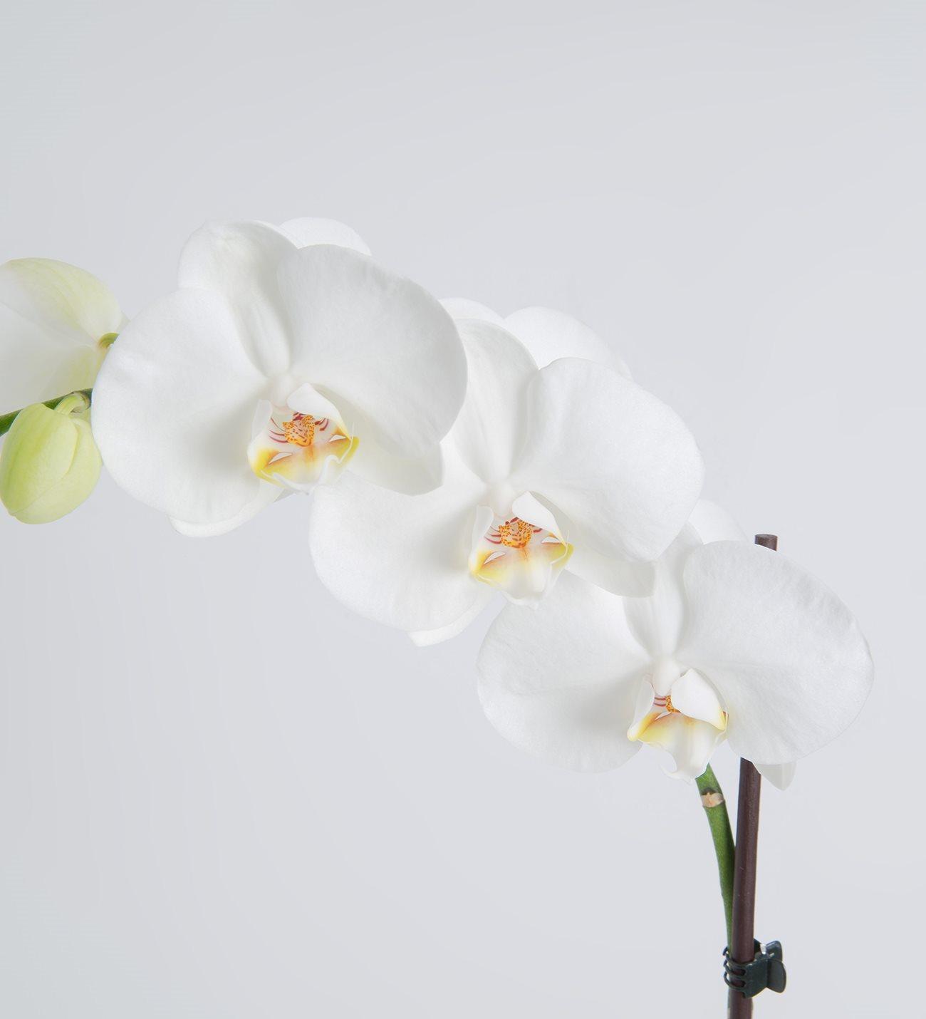 Single white orchid mightylinksfo