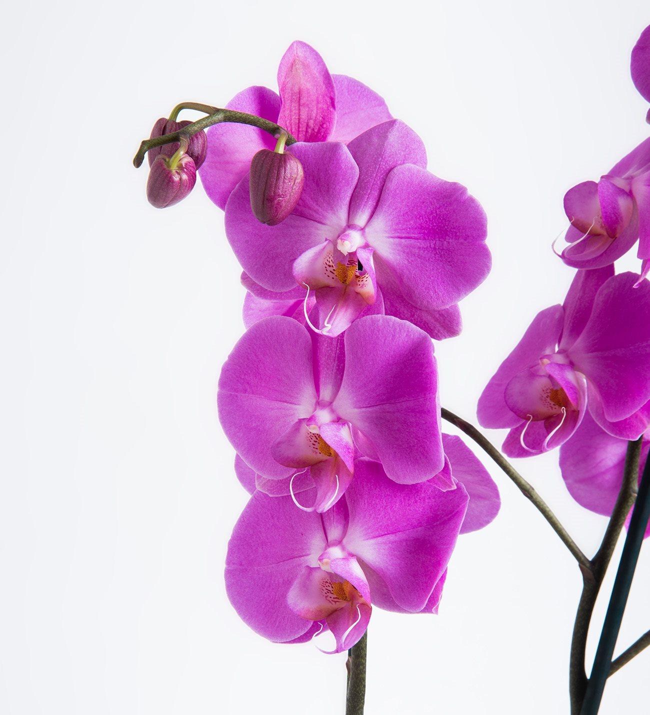 Purple orchid double purple orchid biocorpaavc