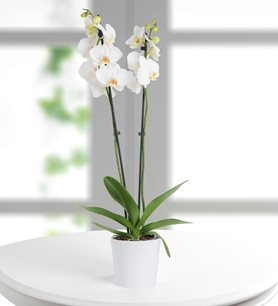Double Stemmed White Orchid