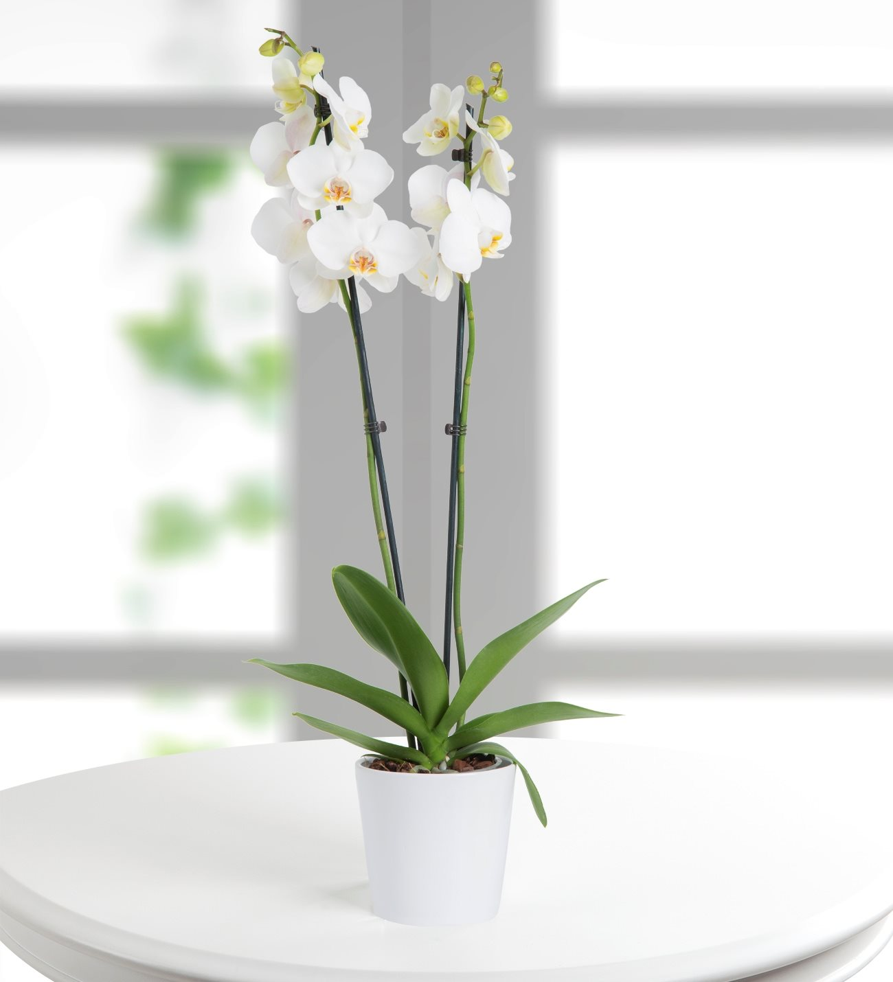 Lolaflora international flower delivery service double stemmed white orchid izmirmasajfo