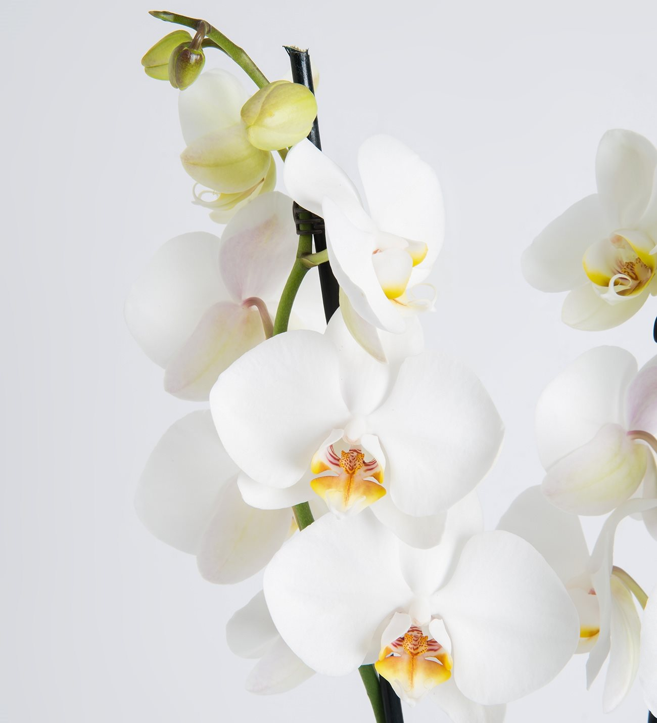 Twin stemmed white orchid double phalaenopsis lolaflora double stemmed white orchid mightylinksfo